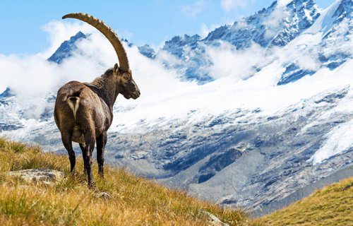 Grisons Ibex
